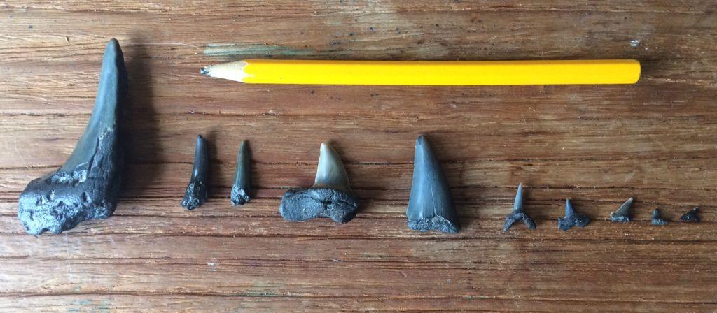 verschillende vormen en groottes haaientanden